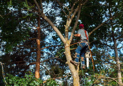 tree pruning state college