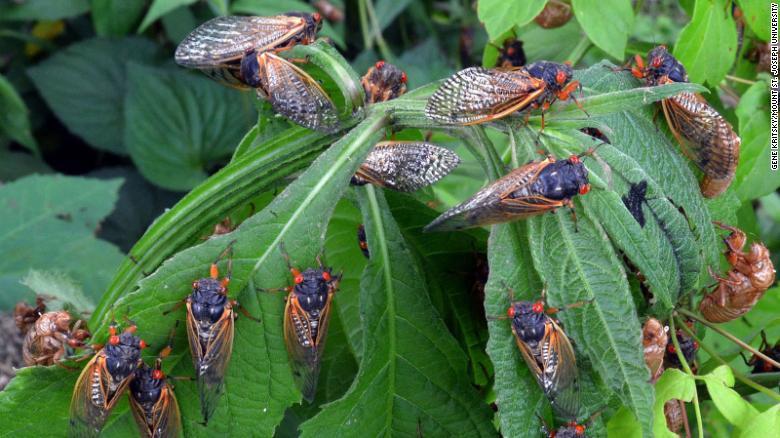 CNN Article_17 Year Cicadas_Hot Button Topic